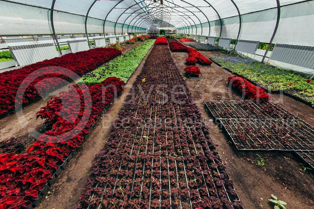 совхоз цветочный, рассада оптом краснодар 14