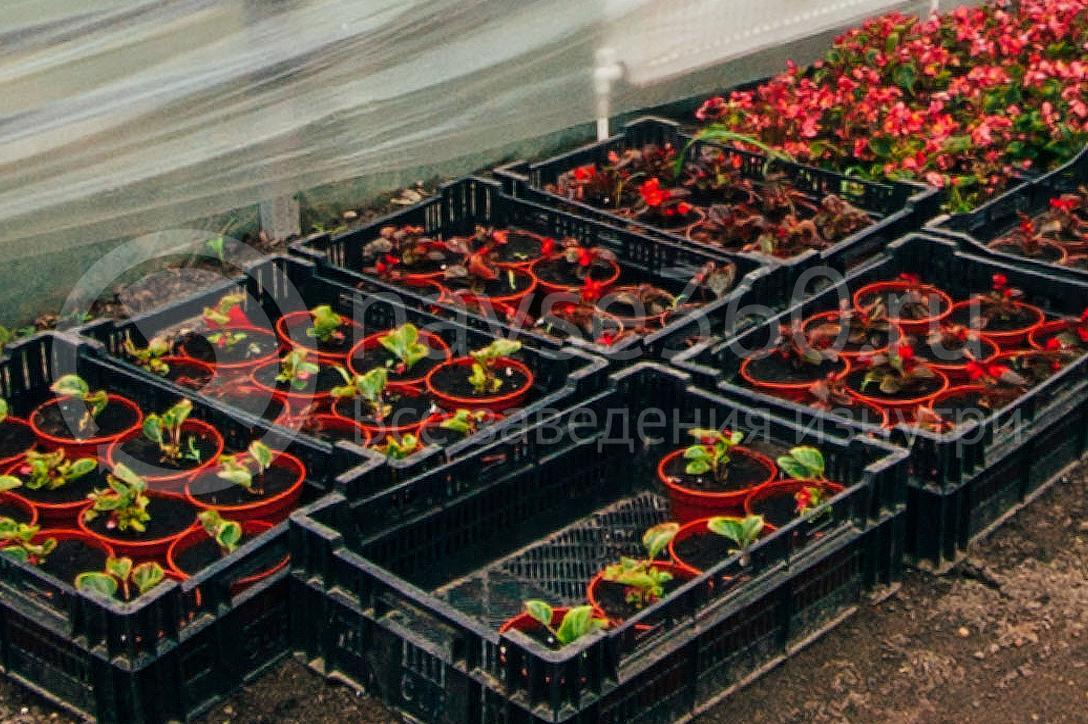 совхоз цветочный, рассада оптом краснодар 20
