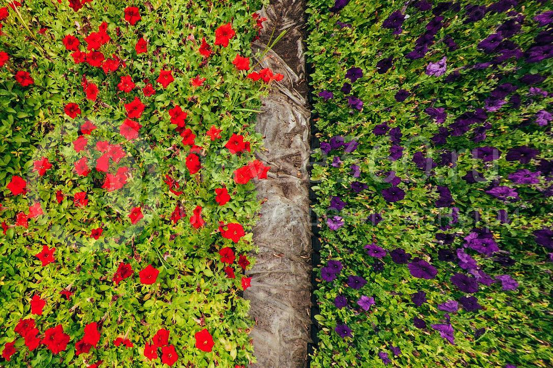 совхоз цветочный, рассада оптом краснодар 39