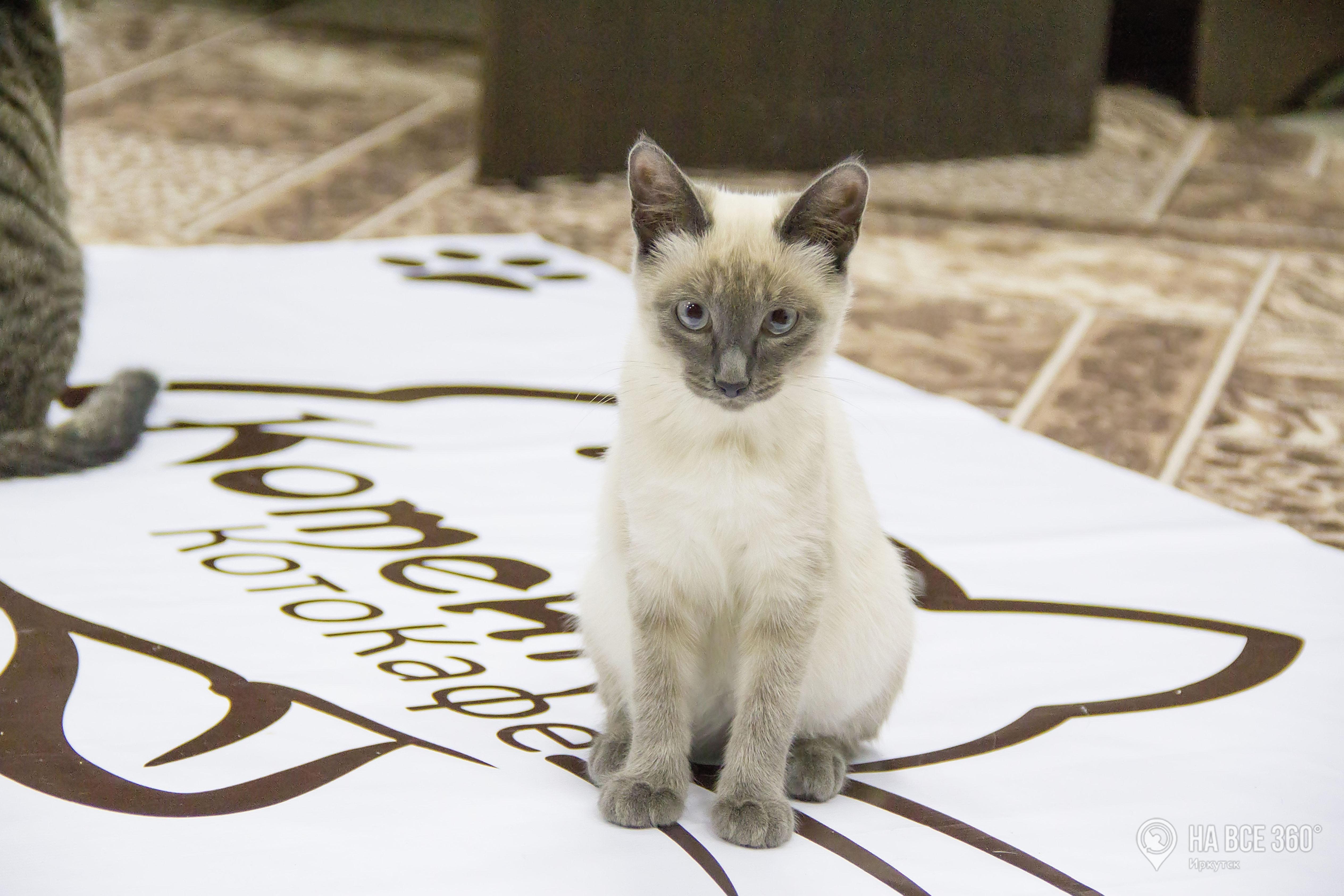 Кафе с кошками в Иркутске